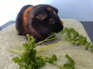 guinea-pig-eating-1-small